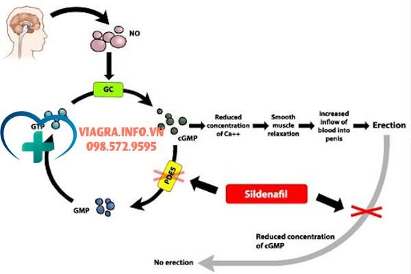 Cơ chế tác dụng của Sildenafil